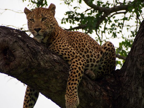 Sabi Sabi Bush Lodge: Leopard napping in a tree
