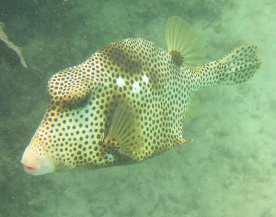 Grand Sirenis Riviera Maya Resort & Spa: trunk fish