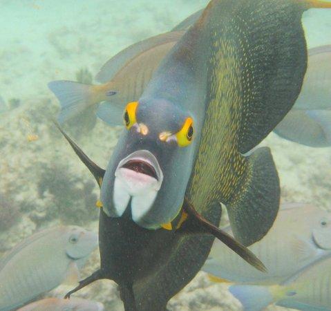Grand Sirenis Riviera Maya Resort & Spa: french angel fish up close