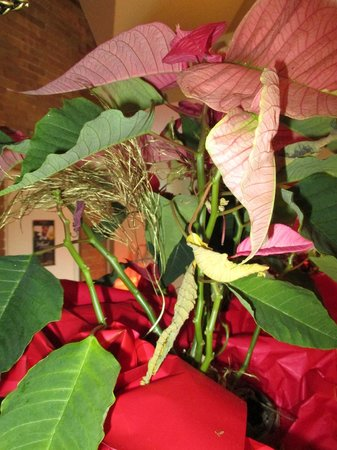 Elm Hurst Inn & Spa: Poor poinsettia.