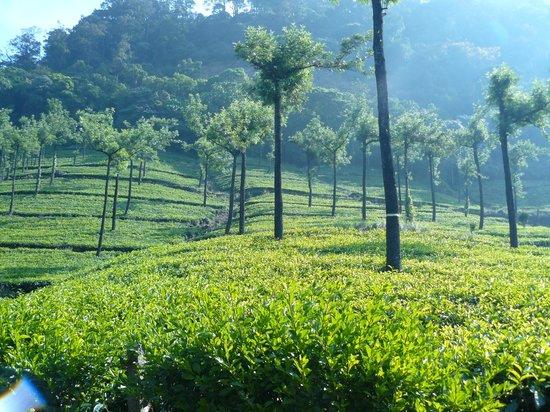 Wild Elephant Eco Friendly Resort : The nearby tea estates