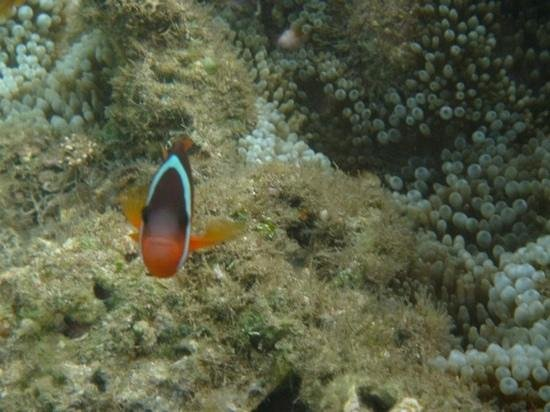 Outrigger Fiji Beach Resort: clown fish in the lagoon area