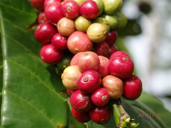 Kings Cottage Home Stay: coffee seeds in the coffee plantation