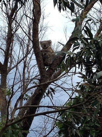 Wildlife Tours Australia: Koala