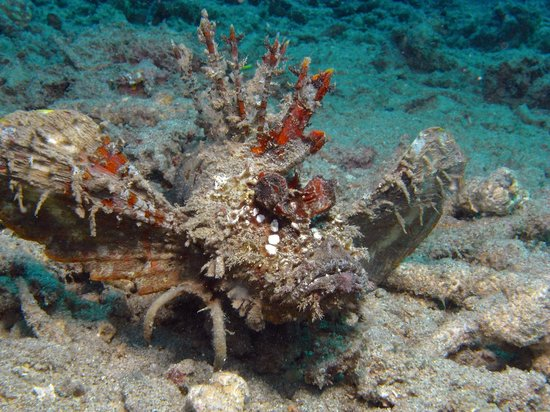 Bunaken National Marine Park : Devil Skorpion Fish in front of Manado