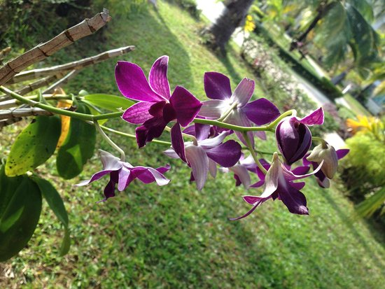 Sokha Beach Resort: Loved the orchids on the trees :) cute