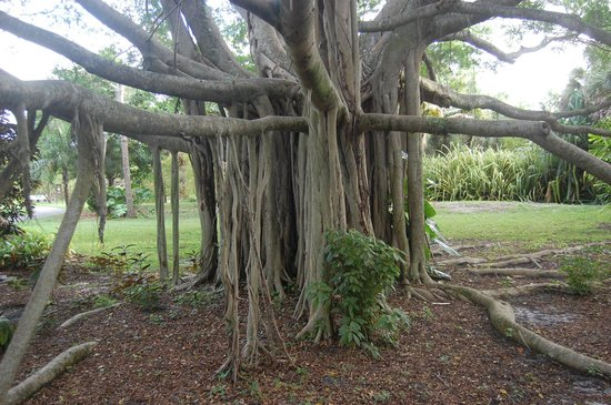 Deerfield Beach Arboretum: Some interesting trees