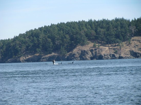 Puget Sound Express - Day Trips: breaching Orca