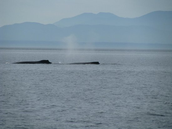Puget Sound Express - Day Trips: Humpback whales
