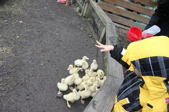 Miaoli County, Taiwan: FlyingCowRanch - Ducklings