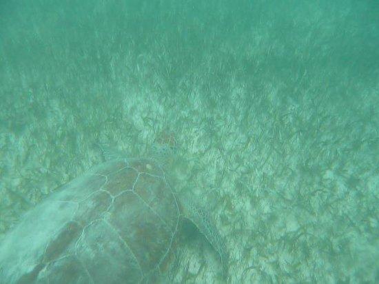 Centro Ecologico Akumal: Les tortues