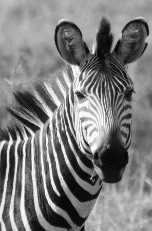 Croc Valley Camp : Zebra