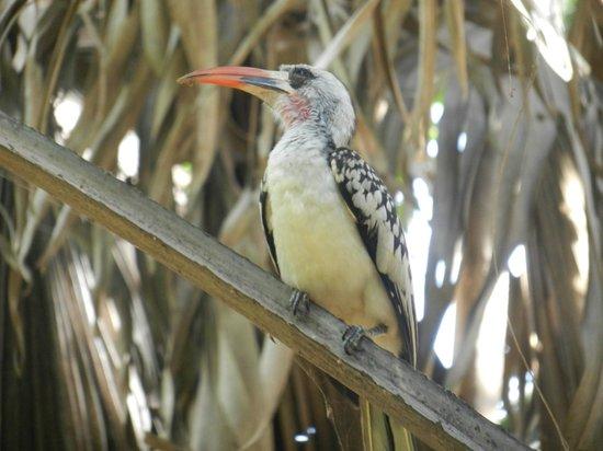 Seafront Residences & Hotel: Hornbill (1 vd 550 vogelsoorten in Gambia)