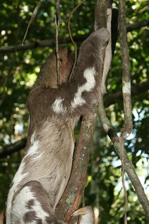 Amazon Yarapa River Lodge: Our guide spotted this three toed sloth!
