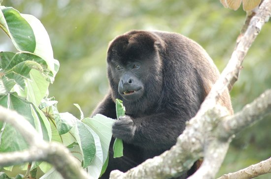 Canopy Tower : Eye-balling a howler monkey from the communal lounge area