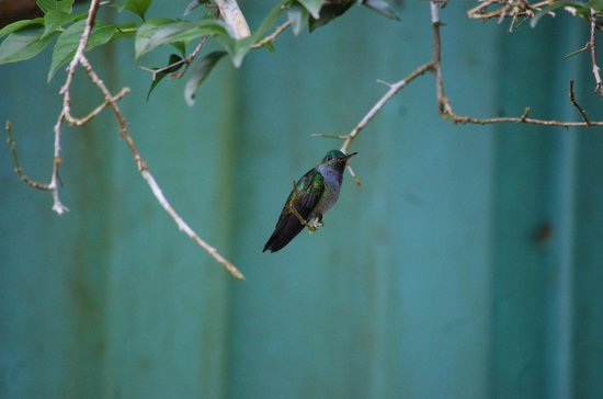 Canopy Tower : One of the many hummingbirds seen outside the front door