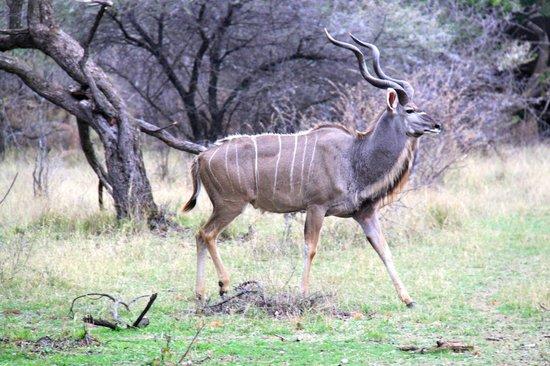 Thaba Khaya Lodge, Sable Ranch: Kudu