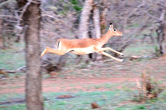 Thaba Khaya Lodge, Sable Ranch: Impala