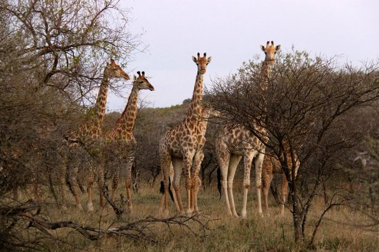 Thaba Khaya Lodge, Sable Ranch: Giraffen