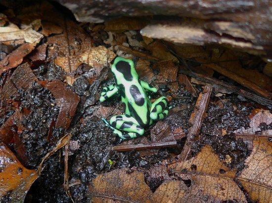 La Paz Waterfall Gardens: Poison Frog