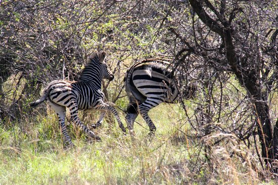 Thaba Khaya Lodge, Sable Ranch: Zebras