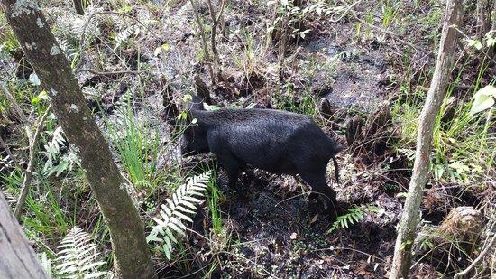 Six Mile Cypress Slough Preserve: Wild pig!