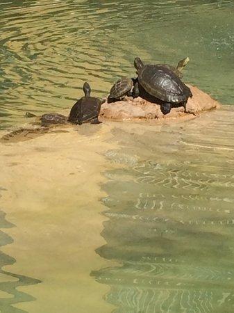 The Westin Grand Cayman Seven Mile Beach Resort & Spa : turtles