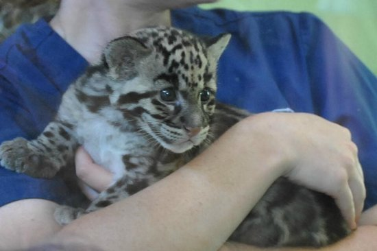 Point Defiance Zoo & Aquarium: A newborn Snow Leopard