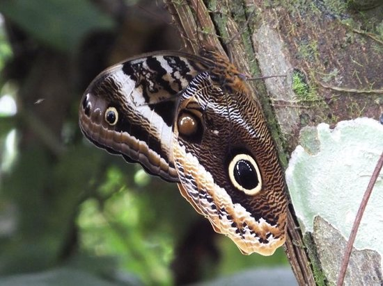 The Lodge and Spa at Pico Bonito : Owl-butterfly