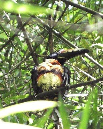 The Lodge and Spa at Pico Bonito : Collared Aracari Toucan outside my porch