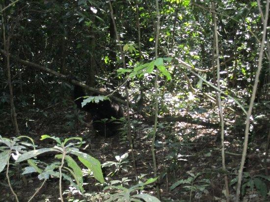 Budongo Forest Chimpanzee Tracking