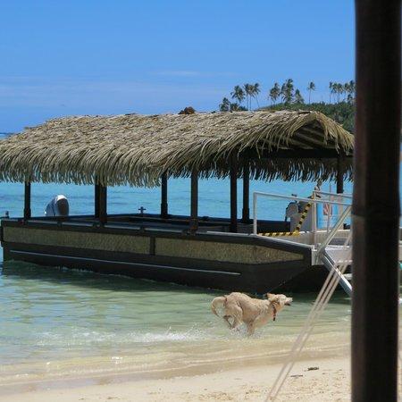 Pacific Resort Rarotonga: Beach dogs are friendly and love to swim