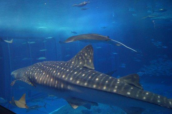 Okinawa Churaumi Aquarium: ジンベイザメ