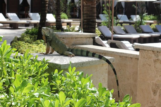 The St. Regis Bahia Beach Resort: One of the giant lizards!