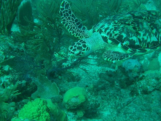 Salt Cay Divers: Turtle at Kelly's Annex