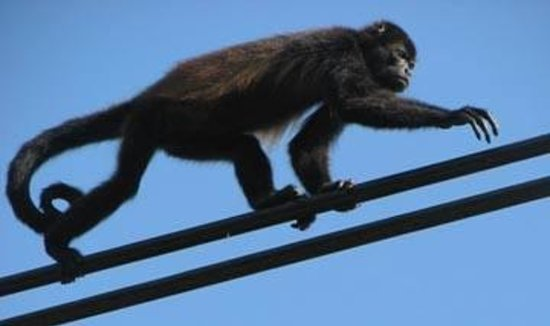 The Howler Monkey Hotel: Howler Monkey