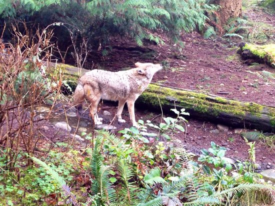 Northwest Trek Wildlife Park: One of the coyotes. They came pretty close! :-)