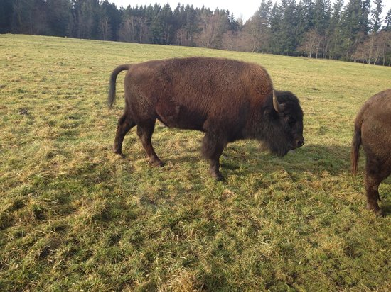 Northwest Trek Wildlife Park: Bison!
