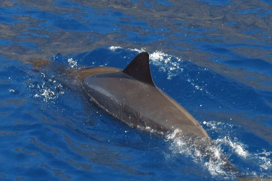 Fair Wind Big Island Ocean Guides : Spinner dolphin seen on Fair Wind cruise.