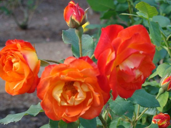 Harry P. Leu Gardens : Roses