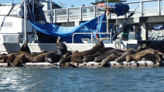 Kayak Connection: Sea Lions Elkhorn Slough (zoomed)