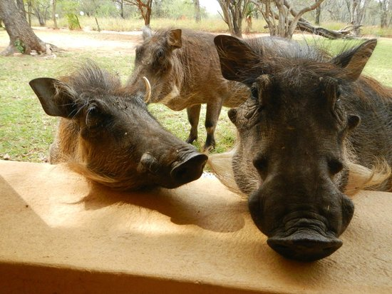 Royal Kruger Lodge : Cute warthogs outside our door.