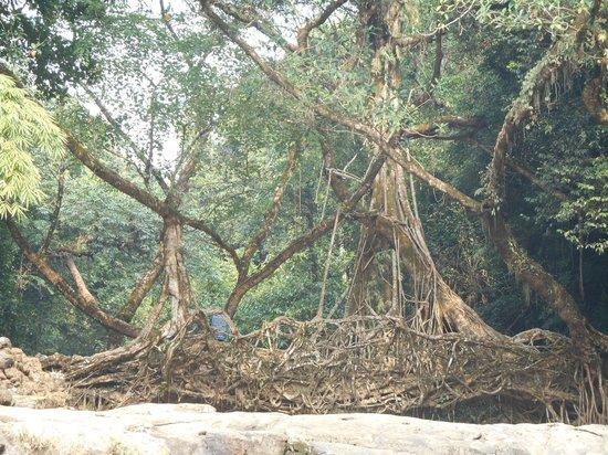 Double Decker Living Root Bridge : Root bridge