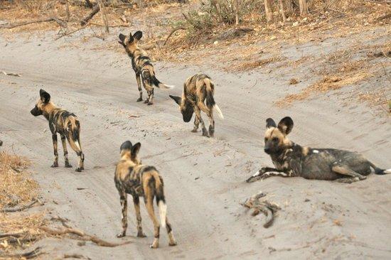Savute Reserve: Wild dogs