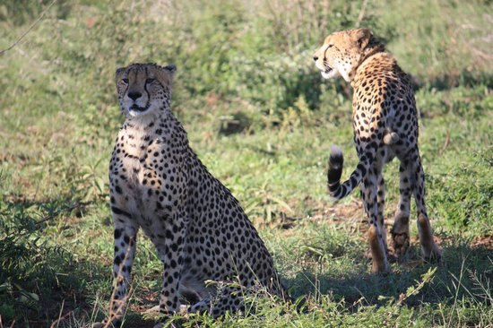 Rhulani Safari Lodge : Cheetah