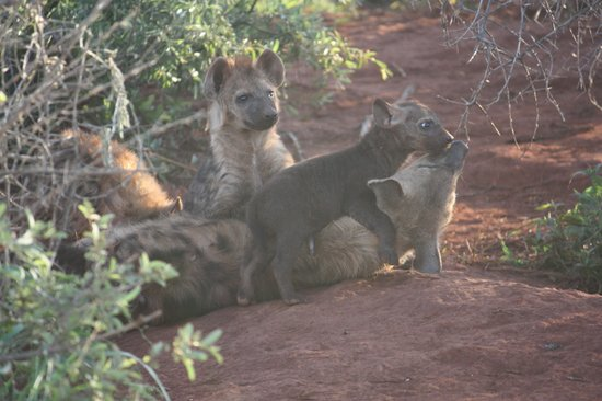 Rhulani Safari Lodge : Hyena Puppies