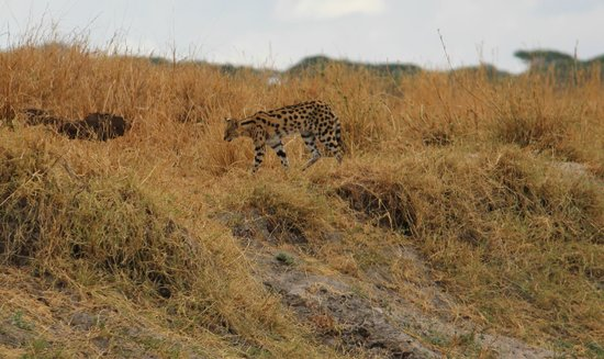 Oliver's Camp, Asilia Africa: A Serval on our walking safari