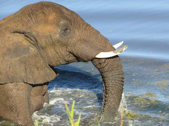 Kwandwe Great Fish River Lodge: Elephant swimming in the dam