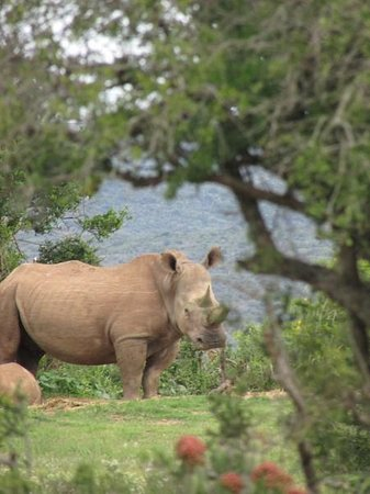 Kwandwe Great Fish River Lodge: Rhino through the trees