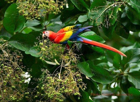 Hotel Cerro Lodge: Scarlet Macaw feeding on a tree